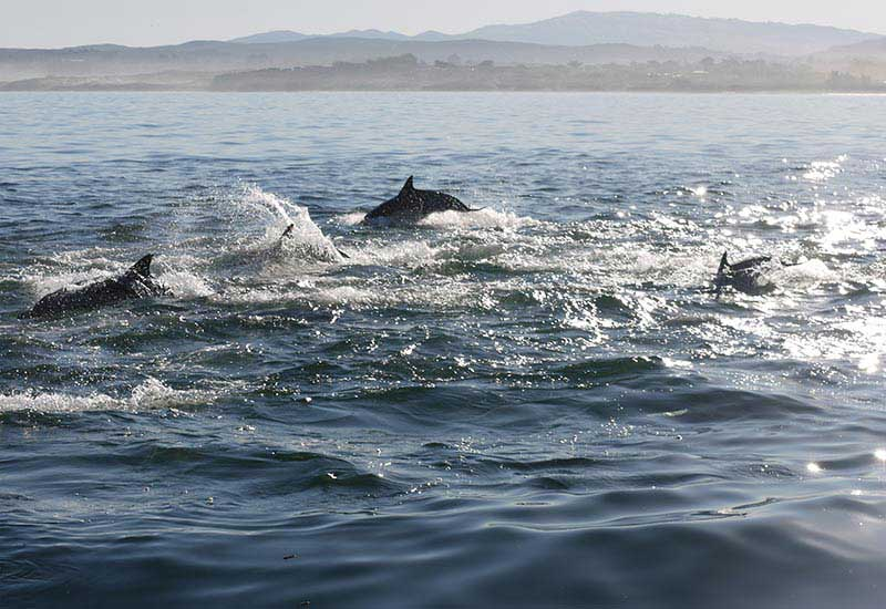 White Sided Dolphins Escort Antipodes And The Crew To The Dive Site
