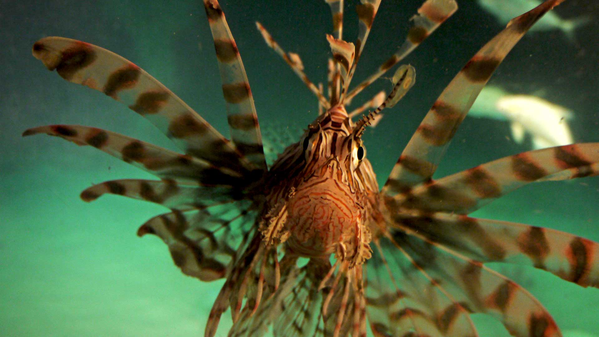 Photo of a lionfish during the lionfish expedition